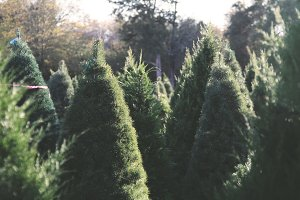 Christmas Tree Farm 3