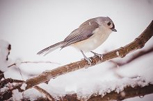 Tufted Titmouse on Snowy Branch