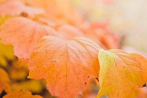 Orange Autumn Leaves in Focus