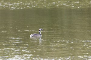 Great Crested Grebe, Podiceps crista