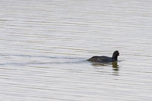 Common Coot swimming