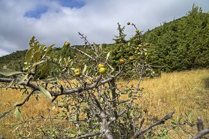 Wild Pear. Crimea, September.