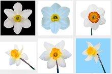 set illustration Jonquil flower