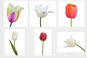 Set of Tulip. Vector illustration