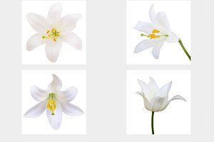 Vector - White lily. Photo-realistic
