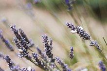 Lavender in Provence, France