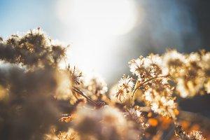 Winter flowers - Morning, sunrise