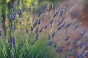 Lavender in sun light.Provence