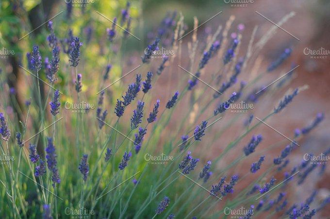 Lavender in sun light.Provence - Nature