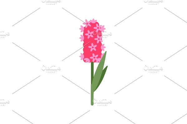 Pink Hyacinthus with Small Flowering