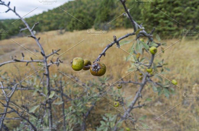The fruits of wild pear. Crimea. - Nature