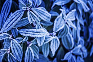 Blue leaves in frost