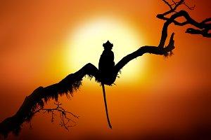 Monkey in sunset