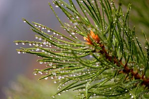 Green pine branch after rain
