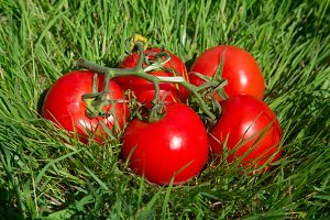 Fresh tomato on green grass