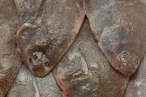Close up of fresh small sole fishes
