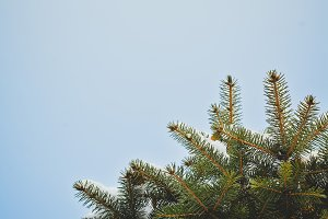 Pine Tree Closeup for Title or Logo