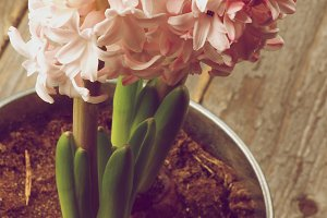 Beauty Pink Hyacinths