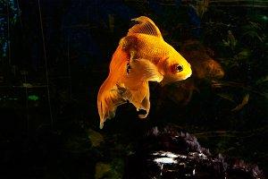 Bright goldfish in aquarium