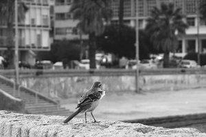Little Bird in the City