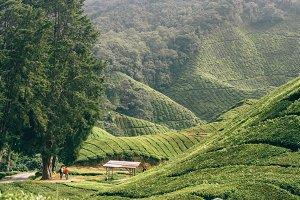 tea plantations in malaysia