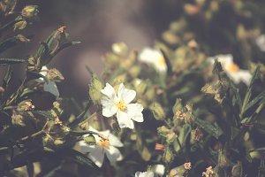 Wild White Cistus Flowers
