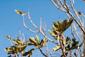 Fig Tree and Sky
