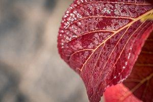 Red leaf / water drop