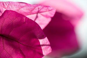 Magenta Flower Petals in Sun
