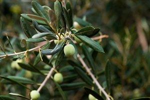 Olive Fruit on Tree 2