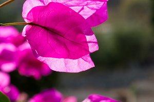 Magenta Flower Petals in Sun 2
