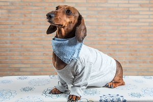 Red dachshund dog with gray shirt