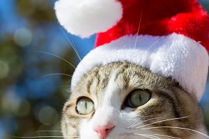 Beautiful cat with christmas cap
