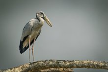 Asian openbill on a tree branch. by  in Photos