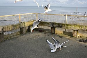 Seagulls Coming in for Food