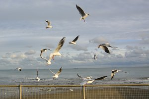 British Seagulls Flying