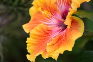Tropical hibiscus flower explosion