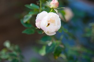 Pink rose in the sun #1