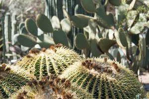 Barrel cactus in desert garden