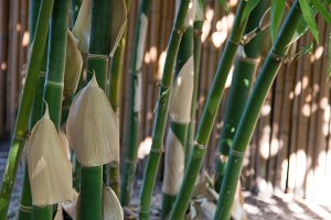 Green Bamboo Shoots 2