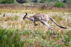 Jumping Eastern Grey Kangaroo