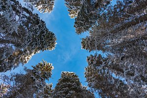 Look up in winter forest