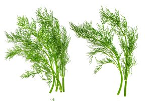 Dill herb leaves isolated on white