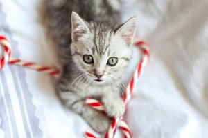 Small kitten with candy canes