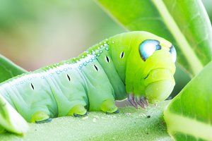 Worm the caterpillars