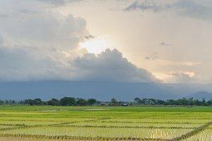 Panorama rice plant farmers planting