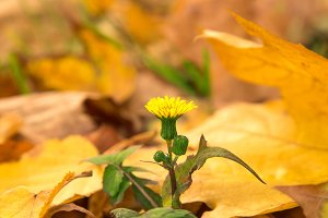 yellow flower in autumn leaves