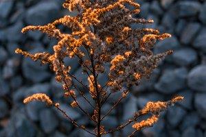 Dried grass flower at sunrise