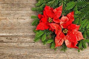 Red Christmas flower poinsettia