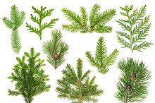 Set of coniferous tree branches
